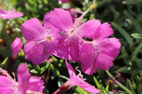 Pfingst-Nelke 'La Bourboule' - Dianthus gratianopolitanus 'La Bourboule'