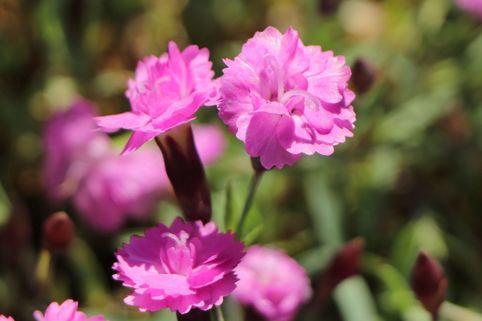 Pfingst-Nelke 'Pink Jewel' - Dianthus gratianopolitanus 'Pink Jewel'
