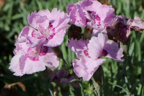Pfingst-Nelke 'Warden Hybr' - Dianthus plumarius 'Warden Hybrid'