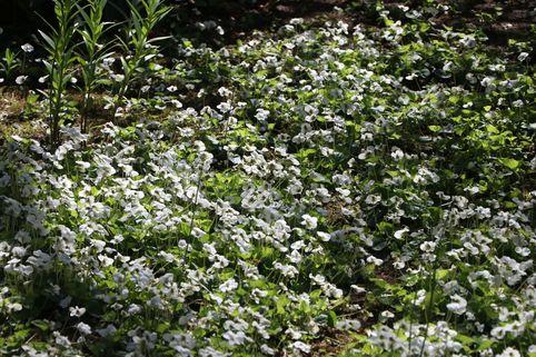 Pfingst Veilchen 'Albiflora' - Viola sororia 'Albiflora'