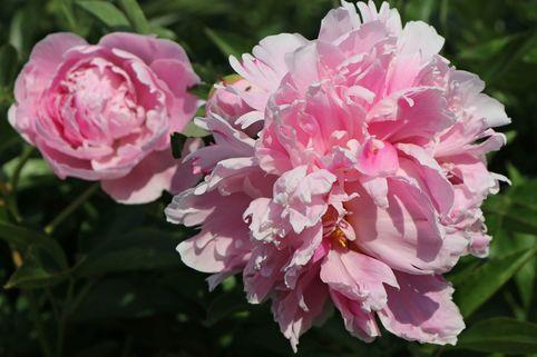 Pfingstrose 'Catharina Fontijn' - Paeonia lactiflora 'Catharina Fontijn'
