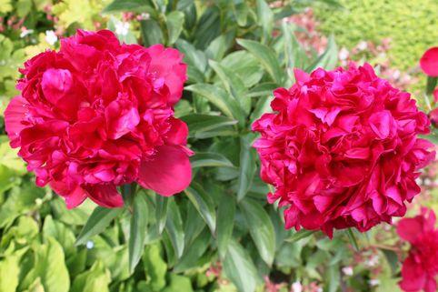 Pfingstrose 'Karl Rosenfield' - Paeonia lactiflora 'Karl Rosenfield'