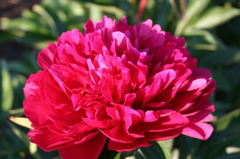 Asiatische Pfingstrose 'Red Magic' - Paeonia lactiflora 'Red Magic'