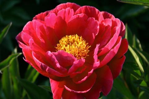 Pfingstrose, rot - Paeonia lactiflora, rot