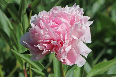 Pfingstrose 'Sarah Bernhardt' - Paeonia lactiflora 'Sarah Bernhardt'