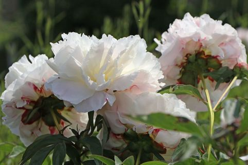 Pfingstrose 'Shirley Temple' - Paeonia lactiflora 'Shirley Temple'