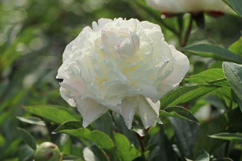Pfingstrose weiß gefüllt - Paeonia lactiflora, weiß gefüllt