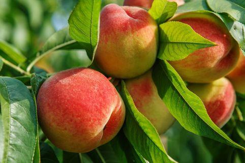 Pfirsich 'Benedicte' (S) - Prunus persica 'Benedicte' (S)
