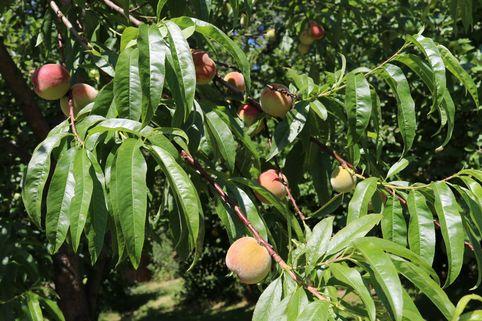 Pfirsich 'Kernechter vom Vorgebirge' - Prunus persica 'Kernechter vom Vorgebirge'