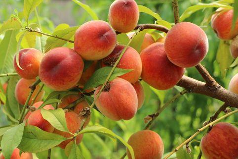 Pfirsich 'Revita' (S) - Prunus persica 'Revita' (S)