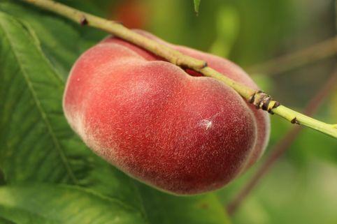 Tellerpfirsich / Plattpfirsich - Prunus persica