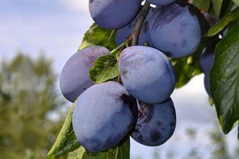 Pflaume 'Stanley' - Prunus domestica 'Stanley'