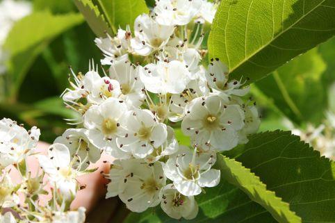 Pflaumenblättrigen Weißdorn - Crataegus prunifolia / persimilis