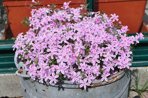 Polster-Flammenblume 'Kimono Pink-White' - Phlox subulata 'Kimono Pink-White'