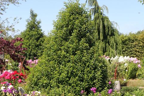 Portugiesische Lorbeerkirsche - Prunus lusitanica