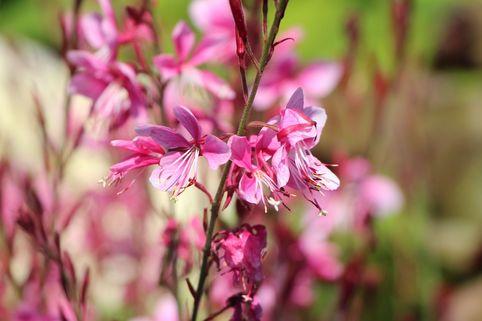 Prachtkerze 'Siskiyou Pink' - Gaura lindheimerii 'Siskiyou Pink'