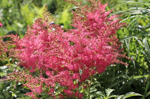 Prachtspiere 'Younique Cerise' ® - Astilbe japonica 'Younique Cerise' ®