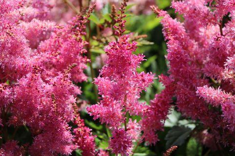 Prachtspiere 'Younique Lilac' ® - Astilbe japonica 'Younique Lilac' ®