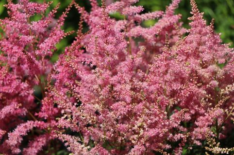Prachtspiere 'Younique Pink' - Astilbe japonica 'Younique Pink' ®