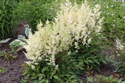 Prachtspiere 'Younique White' ® - Astilbe japonica 'Younique White'  ®