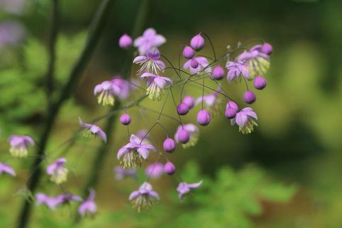 Prächtige Wiesenraute - Thalictrum rochebruneanum