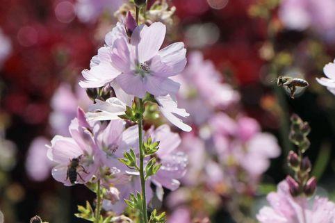 Präriemalve 'Elsie Heugh' - Sidalcea malviflora 'Elsie Heugh'