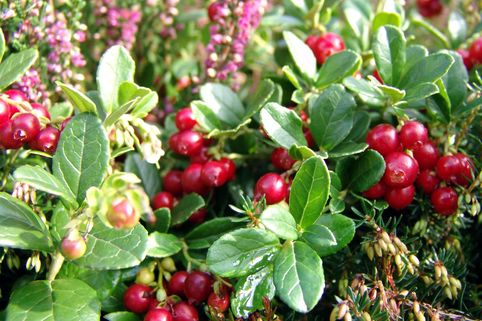 Preiselbeere - Vaccinium vitis-idaea