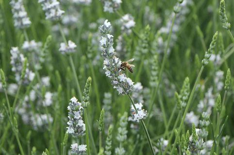 Provence-Lavendel 'Edelweiß' - Lavandula x intermedia 'Edelweiß'