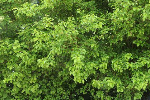 Purgier-Kreuzdorn / Wegedorn - Rhamnus cathartica