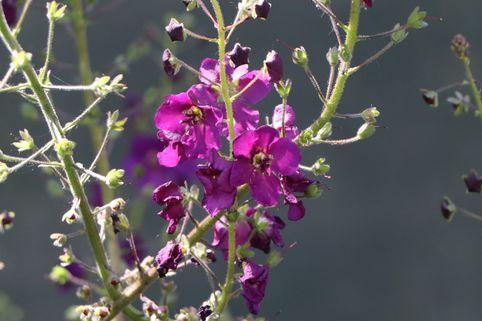 Purpur Königskerze 'Violetta' - Verbascum phoeniceum 'Violetta'