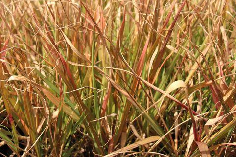 Purpur-Liebesgras - Eragrostis spectabilis