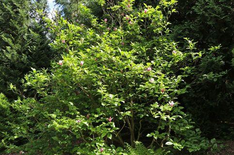 Purpur-Magnolie 'Jane' - Magnolia liliiflora 'Jane'