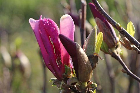 Purpur-Magnolie 'Susan' - Magnolia liliiflora 'Susan'