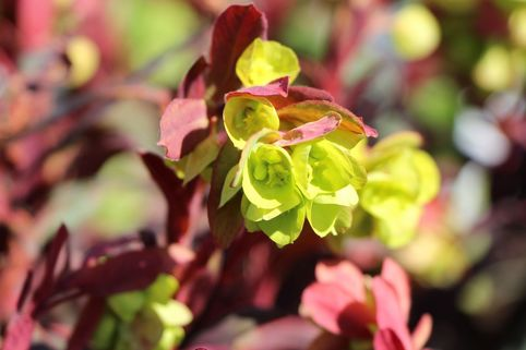 Rotblättrige Wolfsmilch 'Purpurea' - Euphorbia amygdaloides 'Purpurea'