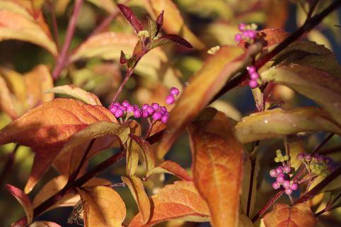 Purpur-Schönfrucht 'Issai' / Liebesperlenstrauch - Callicarpa dichotoma 'Issai'