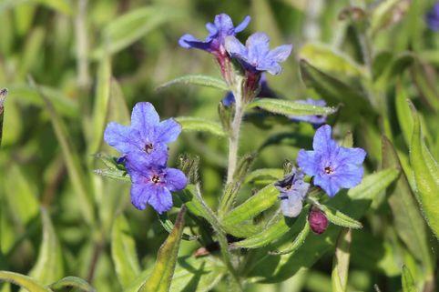 Purpurblauer Steinsame - Buglossoides purpurocaerulea