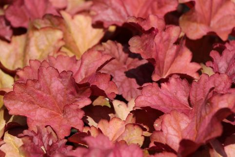 Purpurglöckchen 'Berry Smoothie' ® - Heuchera villosa 'Berry Smoothie' ®