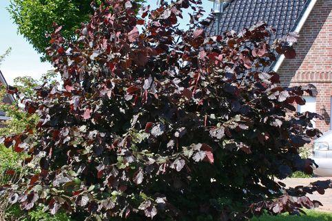 Purpurhasel / Bluthasel 'Purpurea' - Corylus maxima 'Purpurea'