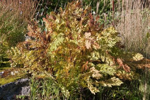 Purpurkönigsfarn 'Purpurascens' - Osmunda regalis 'Purpurascens'