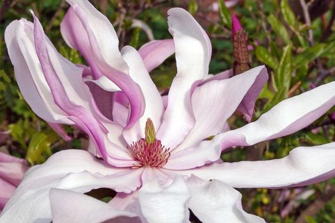 Purpurmagnolie 'Betty' - Magnolia liliiflora 'Betty'