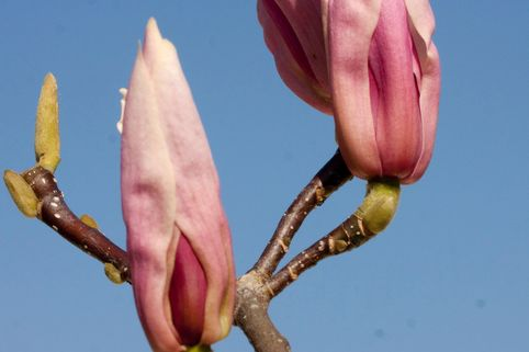Purpurmagnolie 'Royal Crown' weiß - Magnolia liliiflora 'Royal Crown'