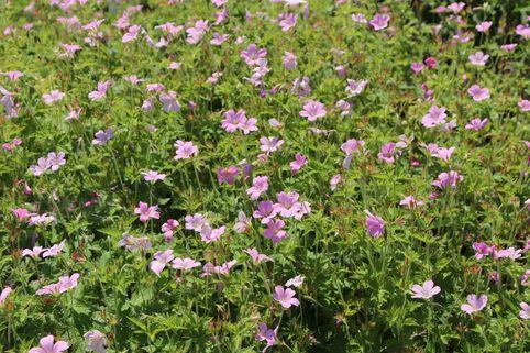 Pyrenäen-Storchschnabel - Geranium endressii
