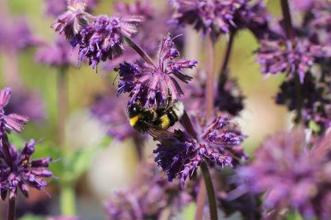 Quirlblütiger Salbei 'Purple Rain' - Salvia verticillata 'Purple Rain'