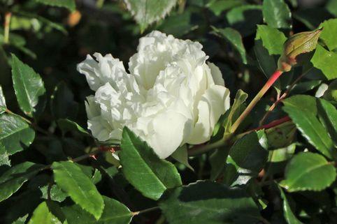 Ramblerrose 'Alberic Barbier' - Rosa 'Alberic Barbier'