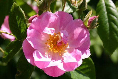 Ramblerrose 'Apple Blossom' - Rosa 'Apple Blossom'