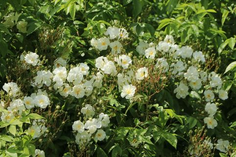Ramblerrose 'Bobby James' - Rosa 'Bobby James'