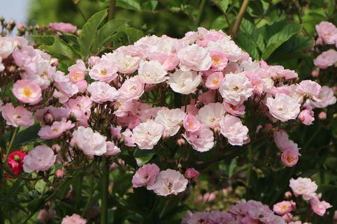 Ramblerrose 'Bonny' ® - Rosa 'Bonny' ®