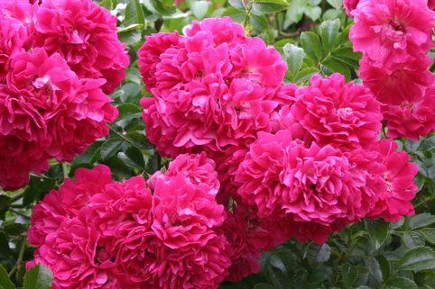 Ramblerrose 'Excelsa' - Rosa 'Excelsa'