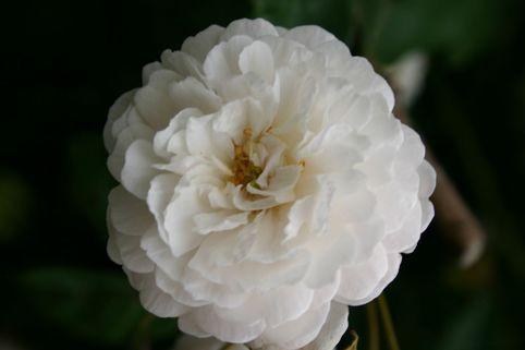 Ramblerrose 'Felicite et Perpetue' - Rosa 'Felicite et Perpetue'