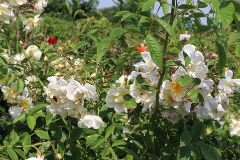 Ramblerrose 'Lykkefund' - Rosa 'Lykkefund'